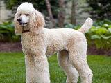 Poodle (dog breed)