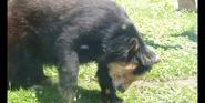 Toledo Zoo Specticaled Bear