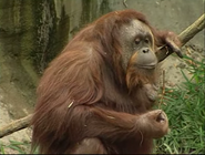 WPZ Orangutan