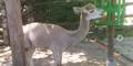Akron Zoo Alpaca