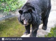 Bear, Formosan Black