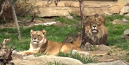 Canberra Zoo Masai Lions