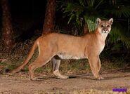 Desert Cougar