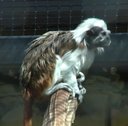 Dickerson Park Zoo Cotton-Top Tamarin