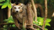 Lemur, Crowned