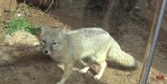 Oklahoma City Zoo Swift Fox