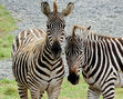 Plains Zebra Stallion and Mare