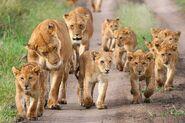 Pride of Congo lions