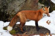 Red Fox (V2)