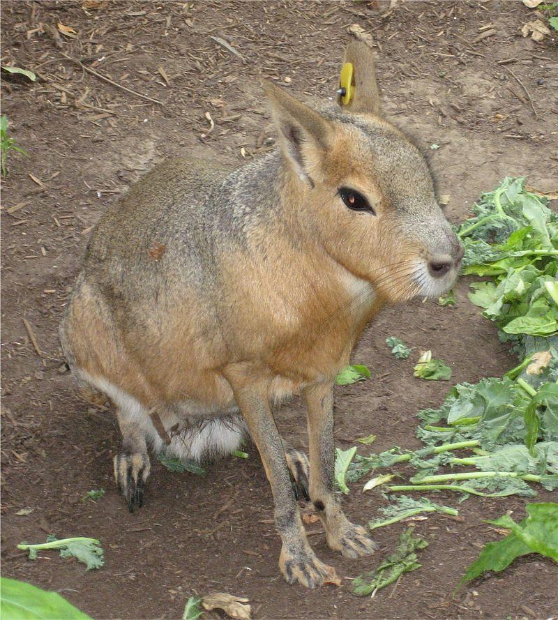 Mara (animal)