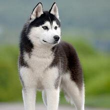 Alaskan-husky 3.jpg