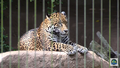 Baton Rouge Zoo Jaguar