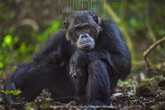 Chimpanzee, Eastern