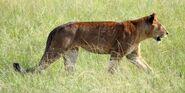 Congo Lioness