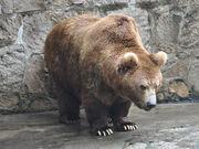 Himalayan Brown Bear.jpg