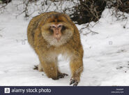 Macaque, Barbary