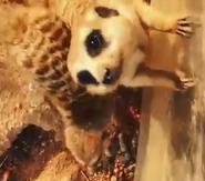 Meerkat agc afvwam