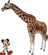Mickey meets Masai Giraffe