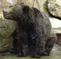 Okland Zoo Grizzly
