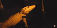 Omaha Zoo Alligator