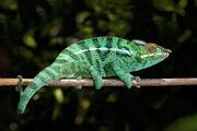 Panther Chameleon.jpg