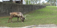 Toledo Zoo Reindeer