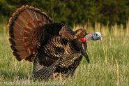 Turkey, eastern wild