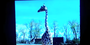 Ultimate Zoo Giraffe