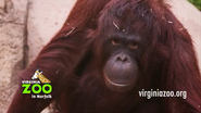 Virginia Zoo Orangutan