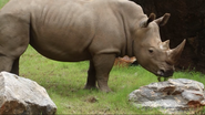 Zoo Atlanta White Rhinoceros