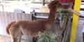 Zoo Miami Alpaca