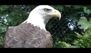 Cleveland Zoo Bald Eagle
