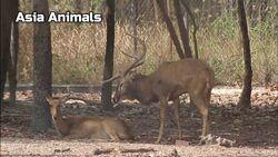Eld's Deer Stag and Doe.jpg