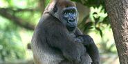Gorilla, Cross River
