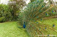 Indian-peafowl