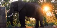 KNP Elephant