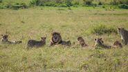 Pride of Masai Lions