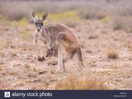 Red Kangaroo Flyer