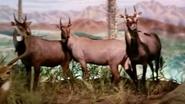 Rolling Hills Zoo Nilgais