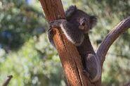 Southern koala
