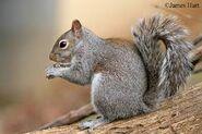 Squirrel, Eastern Grey (V2)