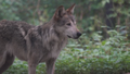 Utica Zoo Wolf