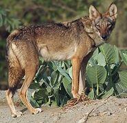 Wolf, Arabian