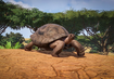 Aldabra-giant-tortoise-planet-zoo