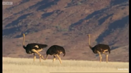 BBC Earth Ostriches