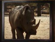 BTJG White Rhinoceros
