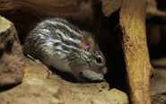 Barbary-Striped-Grass-Mouse-Lemniscomys-barbarous