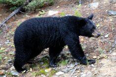 Bear, American Black.jpg