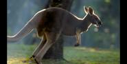 CITIRWN Kangaroo