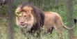 Calgary Zoo Lion